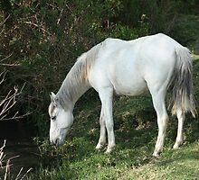 White Horse Drinking From a Stream by rhamm