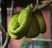 Green Tree Python or Morelia viridis by Debbie Moore