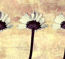 Three Little Daisies by SRowe Art