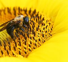 Bumble bee on sunflower  by Winnie39