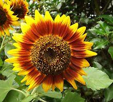 Sunflower Close-Up,  New York Botanical Garden, Bronx, New York by lenspiro