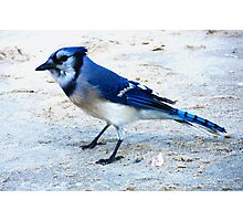 Blue Jay on The Beach Photographic Print