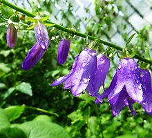 Creeping Purple Bellflower by MSRowe Art and Design