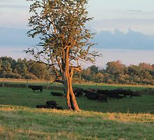cattle grazing and resting at sunset by karencadmanfoto