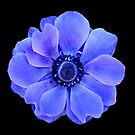 Blue Anemone by Jane-in-Colour