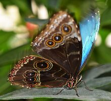 The Blue Morpho by Tracy Deptuck