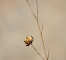 little dried flower by Lavanda
