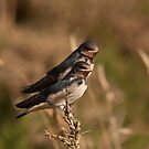 Juv Barn Swallows by Jon Lees
