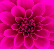 Pink Dahlia ipad case by John Velocci