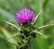 MilkThistle Flower by AnnDixon