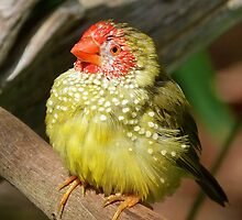 Star Finch Junior by Margaret Saheed