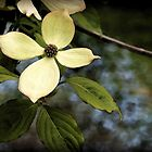 Dogwood in Watercolor by Linda  Makiej Photography