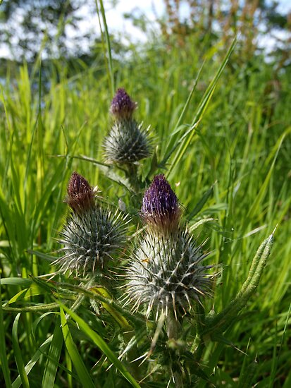 Thistles at Loch Ness by kalaryder