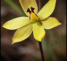 Lemon Scented Sun Orchid by Paul Amyes