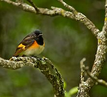 American Redstart by Michael Cummings
