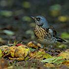 Fieldfare in Autumn by Trevsnature