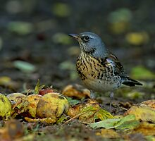 Fieldfare in Autumn by Trevsnature