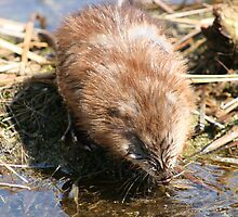 Muskrat Drinking Water by rhamm