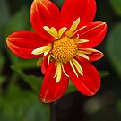 Red Dahlia by vivsworld