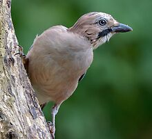 Eurasian Jay - II by Peter Wiggerman