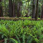Sword Ferns in Macmillan Provincial Park by Michael Russell