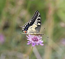 Old World Swallowtail Butterfly by hummingbirds