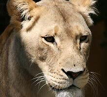 African Lion by jwwallace