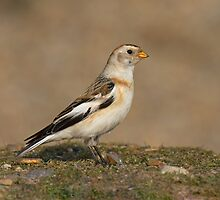 SNOWBUNTING by Trevsnature