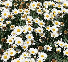 Field of Daisies by rhamm