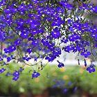 Blue Lobelia Flowers by Danuta Antas