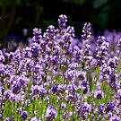 Lovin' This Lavender! by Carol Clifford