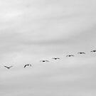 Pelicans in Flight by Buckwhite