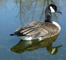 Canada Goose Swimming on a Lake by rhamm