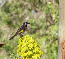 New Holland Honeyeater on Yellow bloom. 'Arilka' by Rita Blom