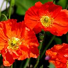 Beautiful Poppies by ronsphotos