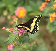 Butterfly on Yellow and Pink Flower by rhamm