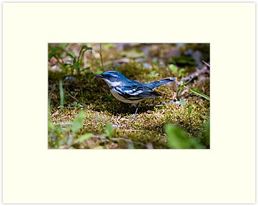 Cerulean Warbler by Michael Cummings