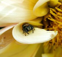 Tiny Jumping Spider on Flower Petal by Amy McDaniel