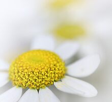 Matricaria (German chamomile) by Bob Daalder