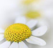 Matricaria (German chamomile) by Bob Daalder