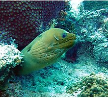 Green Moray Eel  Photographic Print