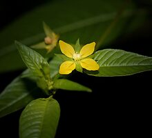 Primrose-willow (Ludwigia decurrens) by Otto Danby II