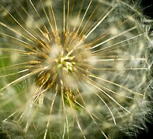 Dandelion - 'clock flower' by ruthjulia