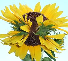 Pretty and Bright Yellow Sunflower Blossom 23 by JaguarJulie