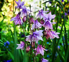 Aquilegia 2 by Susie Peek