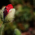 Red Poppy Bud by Eve Parry