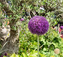 allium flower by Anne Scantlebury