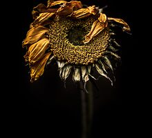 A sunflower feeling under the weather by alan shapiro