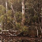 Eucalyptus trees, Standing Strong By Lorraine McCarthy by Lozzar Landscape