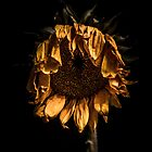 A tired sunflower by alan shapiro